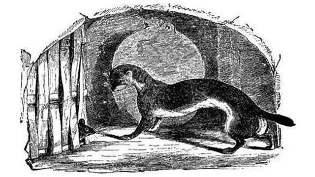 Tikus yang Rakus dan Musang